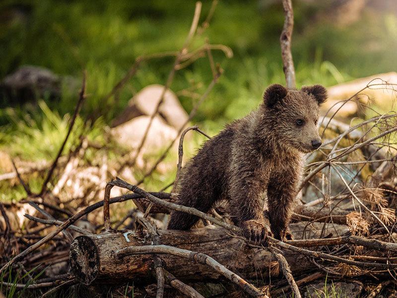 Babybraunbären