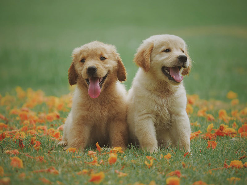 Zwei Gelbe Labrador Retriever-Welpen