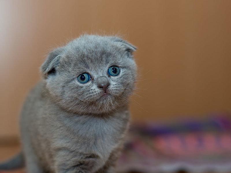 Graues Pelziges Katzchen