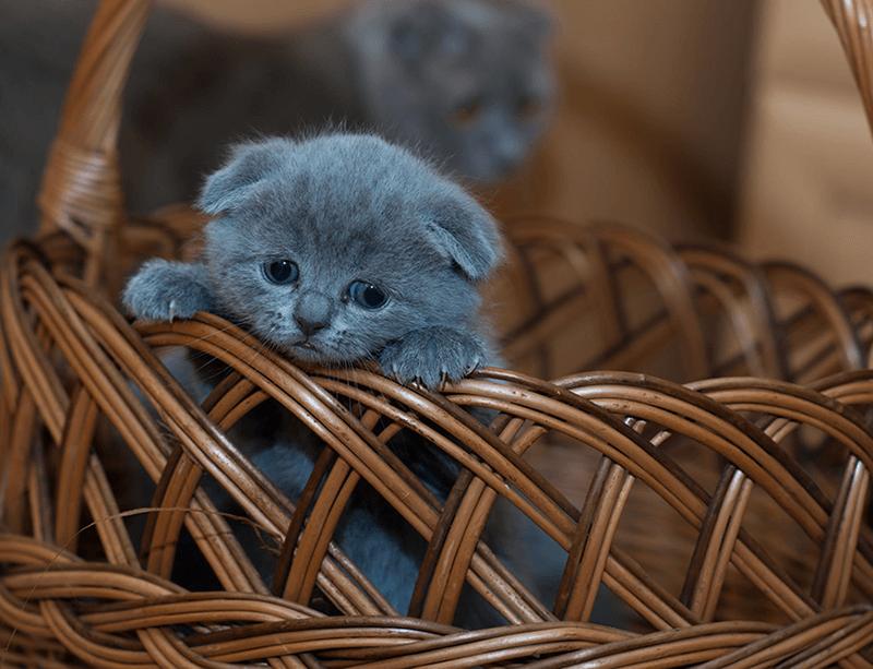Süßes Graues Kätzchen