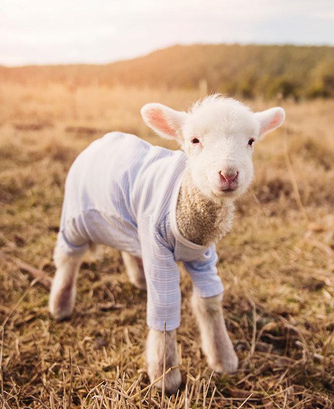 Süßes Weißes Lamm